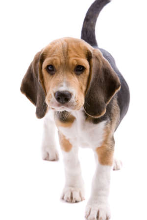 Adorable young beagle puppy on white background