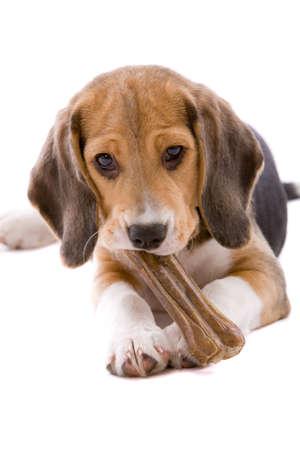 huesos: Lindo y adorable cachorro beagle masticando un hueso Foto de archivo