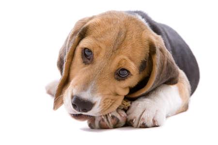 masticar: Adorable cachorro beagle j�venes de mascar en su hueso Foto de archivo
