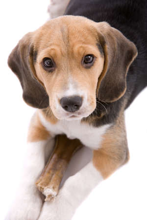 Beagle puppy stock photos royalty free beagle puppy images cute puppy beagle watching over its bone on white background voltagebd Image collections