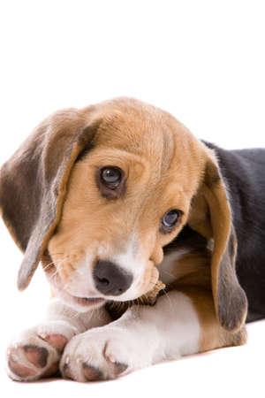 treats: Adorable cuccioli beagle giovani su un osso da masticare