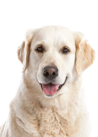 Beautiful golden retriever dog looking happy on white background