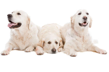 Three golden retriever dogs lying together on white background photo