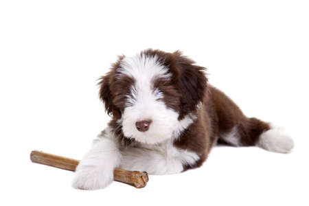 Cute little bearded collie pup protecting its chewing bone