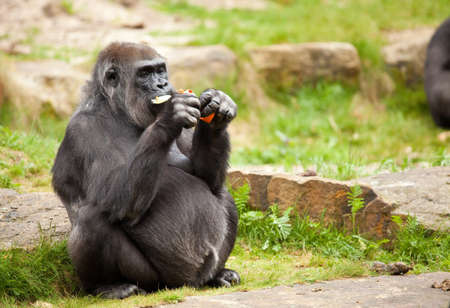 Rather large female gorilla eating and stuffing the food in her mouth Stock Photo