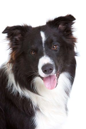 Beautiful young border collie on white background Stock Photo - 8372179