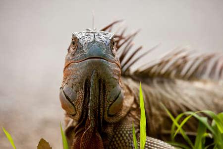 Scary looking iguana looking at the camera Фото со стока