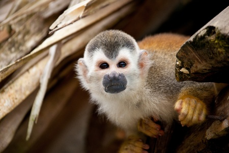 attentive: Attentive squirrelmonkey looking towards the camera curious Stock Photo