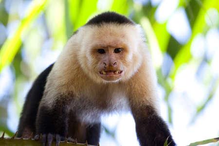 bared teeth: Male capuchin monkey looking with teeth bared