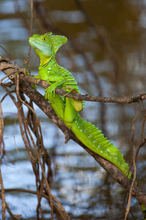 jezus: Green basilisk also called Jezus Christ Lizard for its ability to walk on water