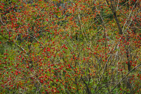Bushes with bright red berries. Live color without processing. Фото со стока