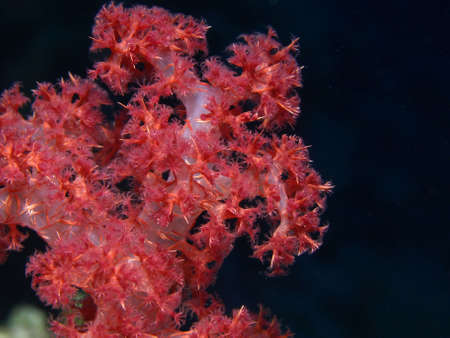 dropoff: RED SOFT CORAL