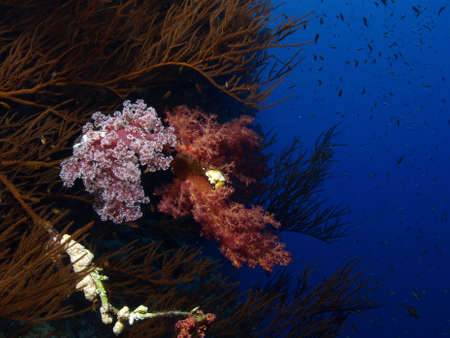 garden eel: soft coral garden
