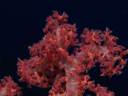 dropoff: soft coral       Stock Photo