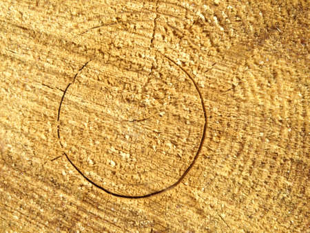 pine wood rings in cut trunks Stock Photo - 8683450