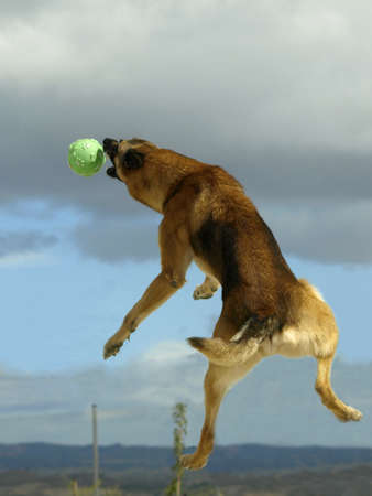 dog jumping Stock Photo