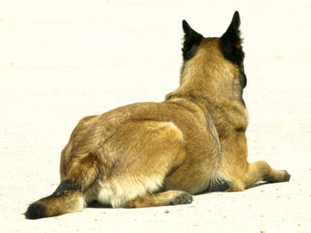 shepperd: dog training Stock Photo