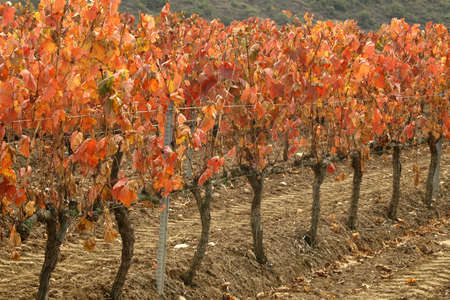 rioja vineyards in autumn Stock Photo