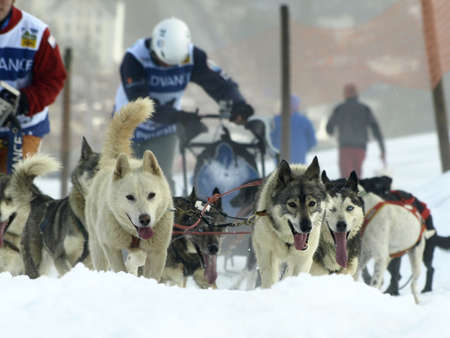 dogs and mushers in Pirena 2012 in the pyrenees