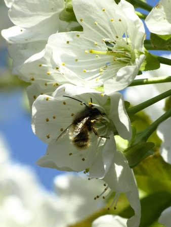 cherry tree flowers in spring photo