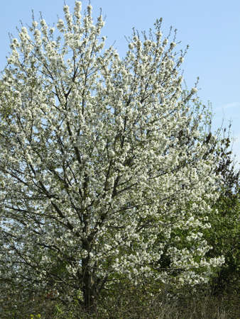 cherry tree flowers in spring Stock Photo - 13448879