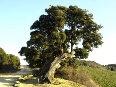 natural monument of a holm oak in Eraul photo