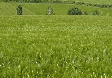 wheat fields in spring photo