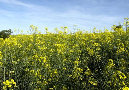 brassica: brassica napus plant
