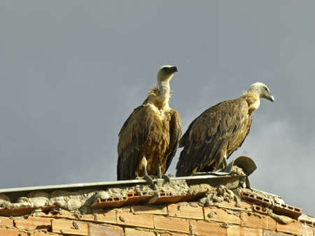 colonization: vultures on the roof of a farm waiting for food