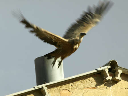 colonisation: avvoltoi sul tetto di una fattoria attesa di cibo Archivio Fotografico