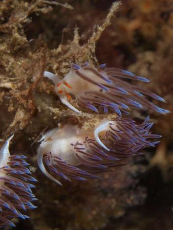 nudibranch: White flabelina nudibranch in Benidorm Stock Photo