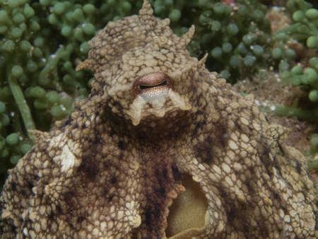skin diving: octopus vulgaris and algae in the mediterranean sea