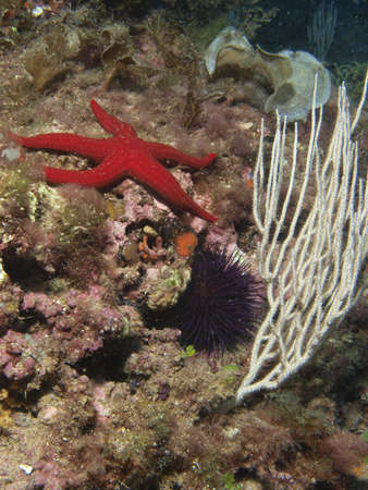 gorgonian: marine landscape with white gorgonian, starfish and sea urchin in Cabo de palos