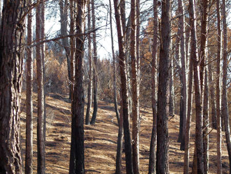 aras: the forest after the fire in Aras  Navarre