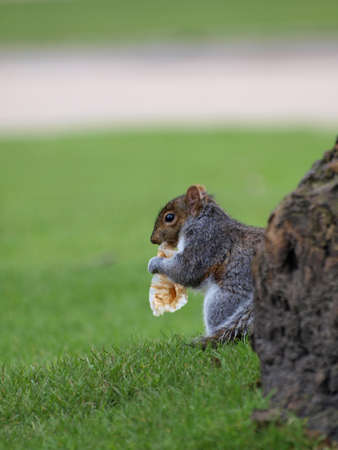 squirrel in a park in greenwich eating rubbish photo