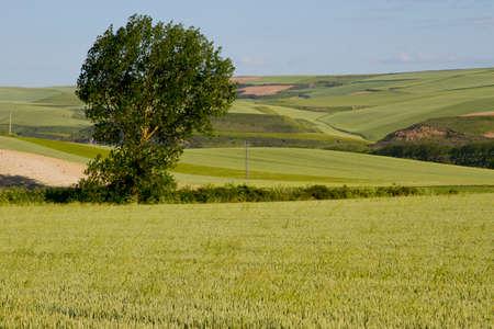 fields of wheat in summer in Burgos (Spain)