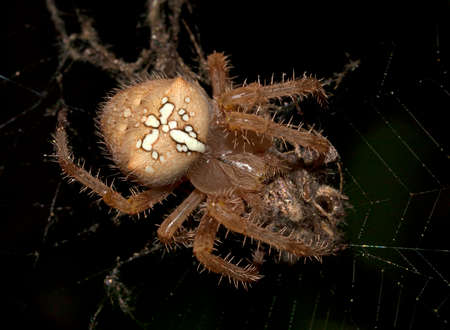 spider (Araneus diadematus) feeding on a prey photo