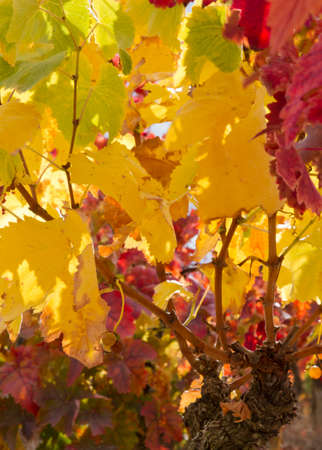 vignoble en automne à La Rioja