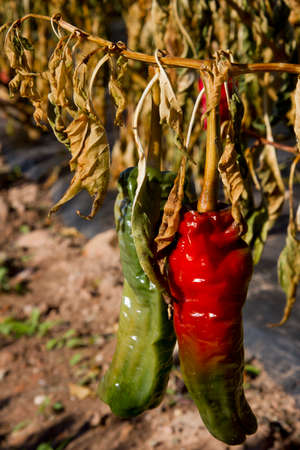 Red and green peppers in La Rioja  Spain
