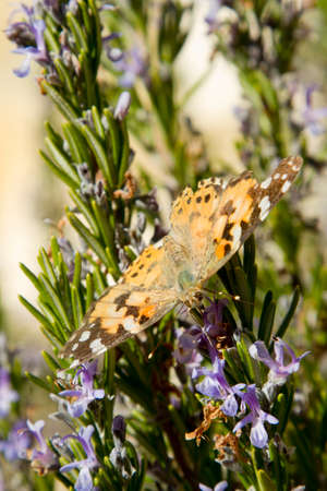 butterfly in Rosmarinus officinalis plant in La Rioja