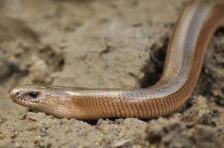 Slow Worm (Anguis fragilis) Lizard on Ground Stock Photo - 7289759