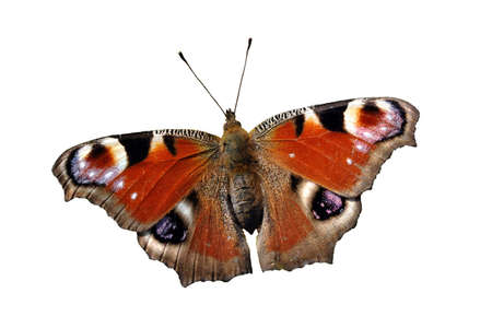 nymphalidae: Isolated European Peacock butterfly (Inachis io) on white background.
