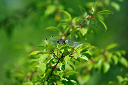 pectoralis: Yellow-Spotted Whiteface (Leucorrhinia pectoralis) Beyond Green Tree Leaves Stock Photo