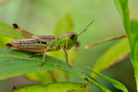 mild: Green grasshopper closeup on mild green background Stock Photo