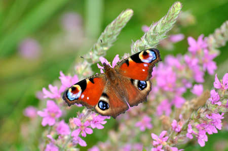 European Peacock (Inachis io) butterfly on pink flowers photo