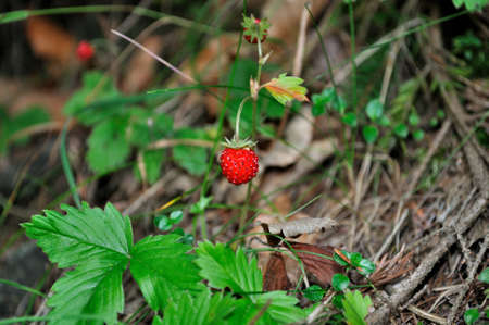 Woodland strawberry in natural environment photo