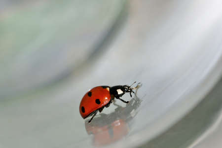 ladyfly: Lady bird bug moving on conceptual grey background Stock Photo