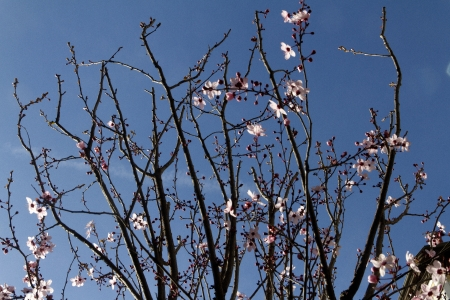 Almond tree flower photo