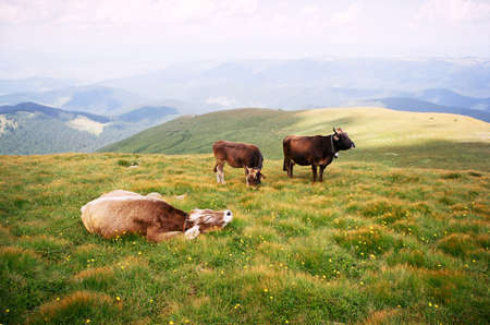 Cows in the mountains of the Carpathians photo