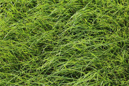 meadow  grass: pradera de c�sped Foto de archivo
